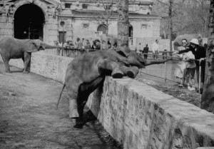 An elephant lying in a pen at the Bronx Zoo