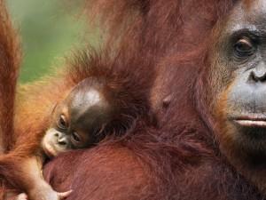 LG-Orangutans_Hero_image_(c)_naturepl.com_Anup_Shah_WWF